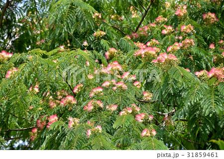 合歓の木 (ねむのき) 31859461
