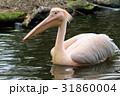 モモイロペリカン ペリカン 鳥の写真 31860004