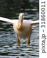 モモイロペリカン ペリカン 鳥の写真 31860011