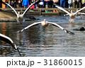 モモイロペリカン ペリカン 鳥の写真 31860015