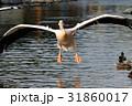 モモイロペリカン ペリカン 鳥の写真 31860017