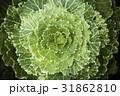 キャベツ グリーン 緑の写真 31862810