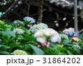 紫陽花 アジサイ 紫の写真 31864202