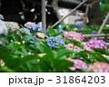 紫陽花 アジサイ 紫の写真 31864203