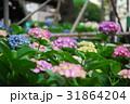 紫陽花 アジサイ 紫の写真 31864204