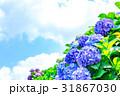晴れの日のアジサイ 紫陽花 あじさい 梅雨時期 31867030