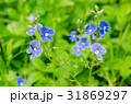 Forget-me-not flower in the garden 31869297