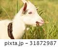 草を食む山羊 31872987