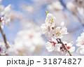 梅の花(白梅) 31874827