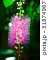 サガリバナ 花 ピンクの写真 31874967