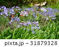 アガパンサス ムラサキクンシラン 花の写真 31879328