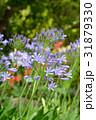 アガパンサス ムラサキクンシラン 花の写真 31879330