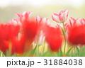 チューリップ 31884038