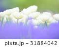 純白のチューリップ 31884042