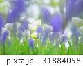 白いチューリップ 31884058