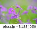 ムラサキハナナ 31884060
