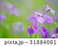 ムラサキハナナ 31884061