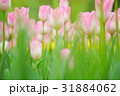 淡いピンクのチューリップ 31884062