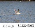 セグロカモメ (背黒鴎) その2。 Herring gull 31884393