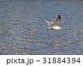セグロカモメ (背黒鴎) その3。 Herring gull 31884394