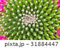 さぼてん サボテン 仙人掌の写真 31884447