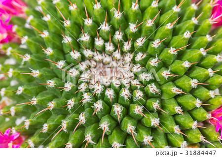 closeup cactus thorn. nature pattern. 31884447