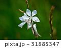 ガウラ 花 白色の写真 31885347