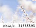 梅の花(白梅) 31885393