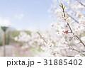 梅の花(白梅) 31885402
