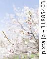梅の花(白梅) 31885403