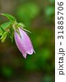 ホタルブクロ 花 アップの写真 31885706