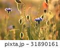 コーンフラワー ヤグルマギク 矢車菊の写真 31890161