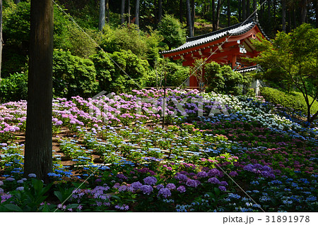 京都宇治、三室戸寺のアジサイ 31891978