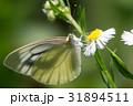 ヒメジョオンの花にとまるモンシロチョウ 31894511