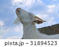 ヤギ やぎ 山羊の写真 31894523