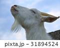 ヤギ やぎ 山羊の写真 31894524