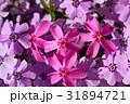 花 ハナシノブ科 芝桜の写真 31894721