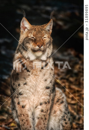 Lynx sitting in the sun and relaxing 31899895