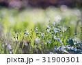 お花 フラワー 花の写真 31900301