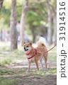 柴犬 31914516