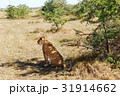 lioness hunting in savannah at africa 31914662