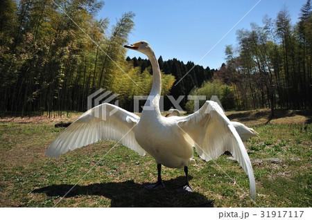 昭和の森の白鳥 31917117