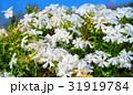 都市農業公園の白いシバザクラ 31919784