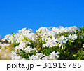 都市農業公園の白いシバザクラ 31919785
