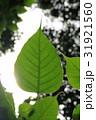 グリーン 緑 緑色の写真 31921560