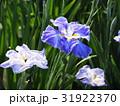 花菖蒲 菖蒲 アヤメ科の写真 31922370