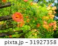花 ノウゼンカズラ ノウゼンカヅラの写真 31927358
