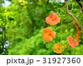 花 ノウゼンカズラ ノウゼンカヅラの写真 31927360