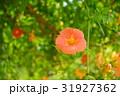 花 ノウゼンカズラ ノウゼンカヅラの写真 31927362
