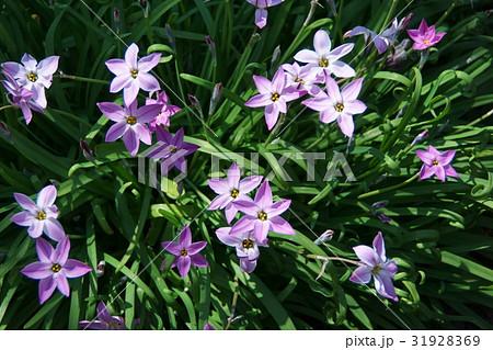 花韮 ハナニラ 花言葉は「星に願いを」 31928369